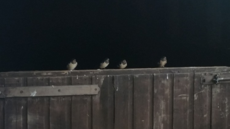 Four swallow chicks sitting on a stable door