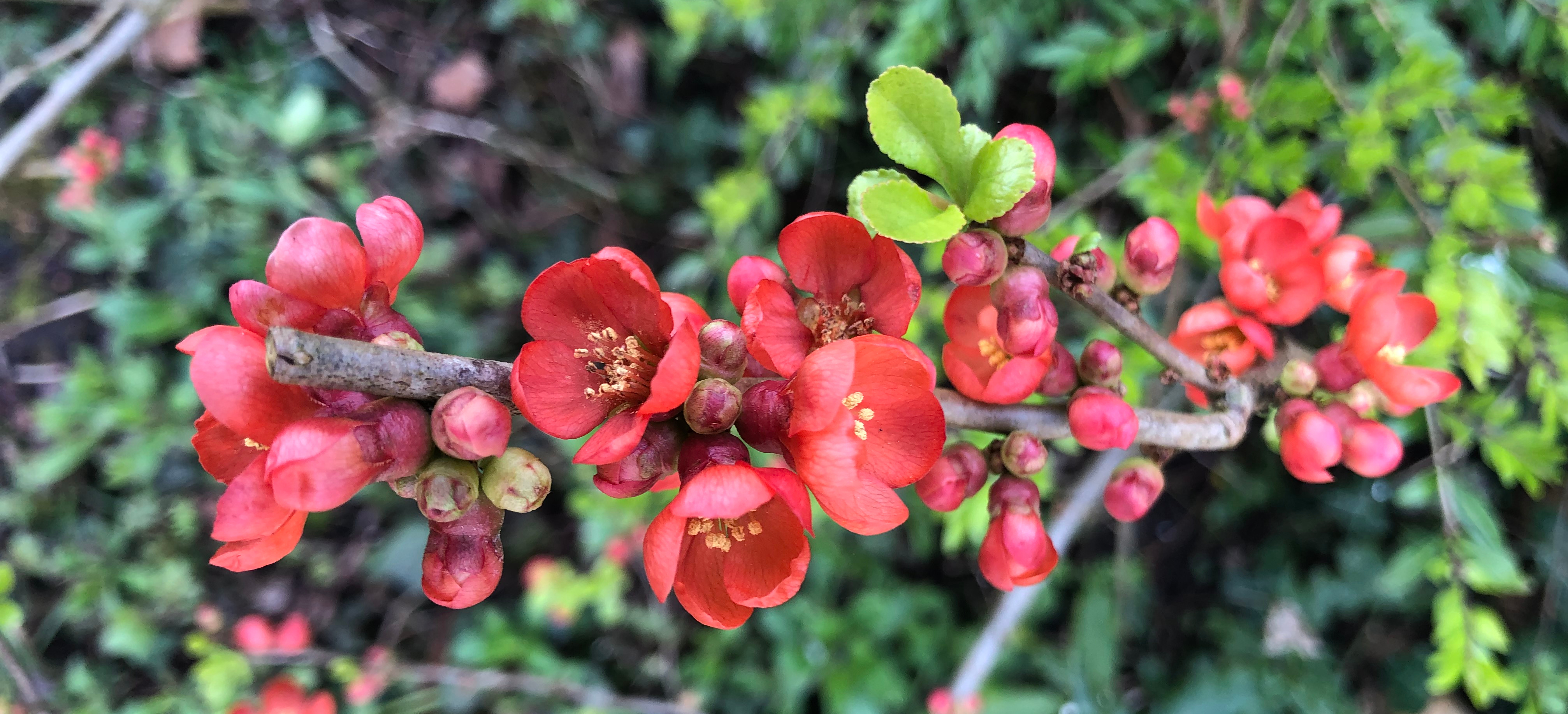 Quince in bloom. The flowers are a deep flame orange.