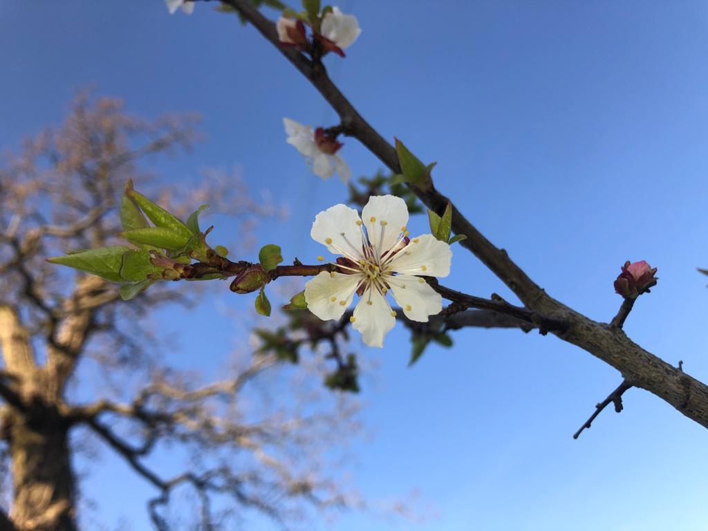 A single peach blossom in the centre of the view, photographed against a clear blue sky. There is a mature oak on the left of the picture which is out of focus in the background.
